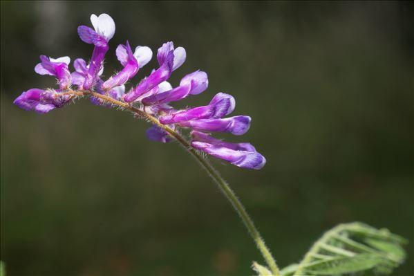 Vicia villosa Roth