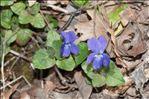 Photo 2/2 Viola hirta L.
