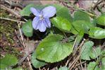 Viola hirta L.
