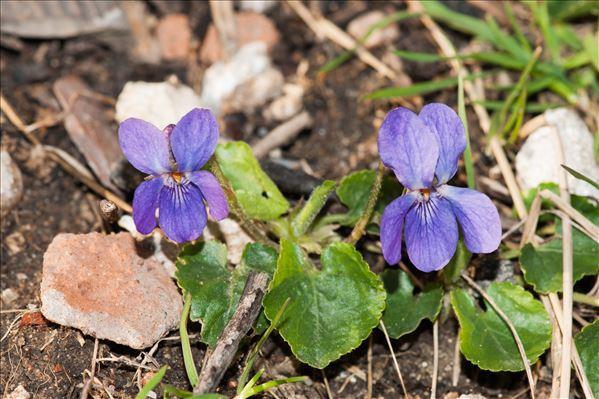 Viola odorata L.