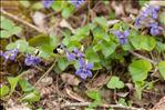 Photo 2/6 Viola riviniana Rchb.
