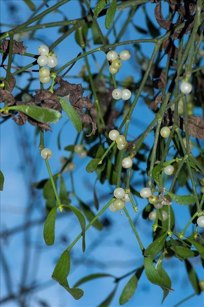 Viscum album subsp. abietis (Wiesb.) Abrom.