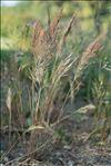 Vulpia bromoides (L.) Gray