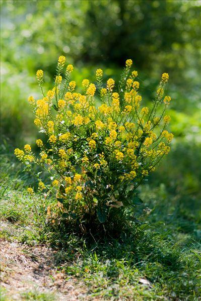 Barbarea vulgaris R.Br.