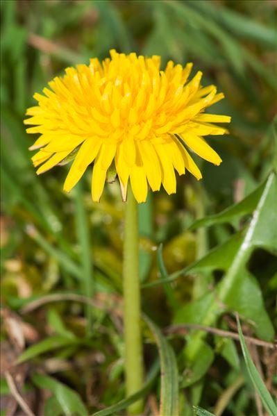 Taraxacum campylodes G.E.Haglund