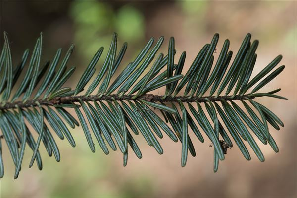 Abies alba Mill.