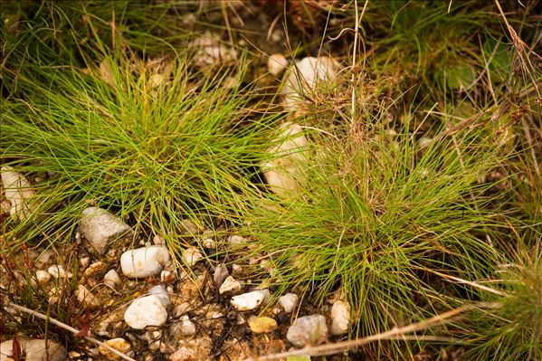Agrostis canina L. var. canina