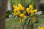 Photo 1/1 Berberis aquifolium Pursh