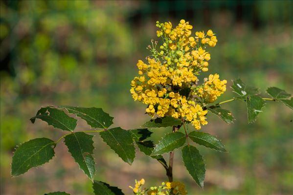 Berberis aquifolium Pursh