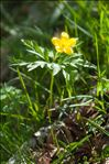 Photo 2/4 Anemone ranunculoides L.