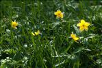 Photo 1/4 Anemone ranunculoides L.