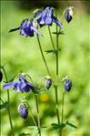 Photo 6/6 Aquilegia vulgaris L.