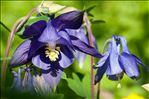 Photo 4/6 Aquilegia vulgaris L.