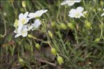 Arenaria montana L.