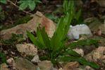Photo 4/4 Asplenium scolopendrium L.