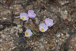 Photo 1/4 Baldellia repens subsp. cavanillesii (Molina Abril, A.Galán, Pizarro & Sard.Rosc.) Talavera