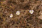 Photo 1/5 Baldellia repens subsp. cavanillesii (Molina Abril, A.Galán, Pizarro & Sard.Rosc.) Talavera