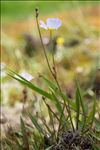 Photo 4/4 Baldellia repens subsp. cavanillesii (Molina Abril, A.Galán, Pizarro & Sard.Rosc.) Talavera