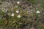 Photo 3/4 Baldellia repens subsp. cavanillesii (Molina Abril, A.Galán, Pizarro & Sard.Rosc.) Talavera