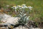 Leontopodium nivale subsp. alpinum (Cass.) Greuter