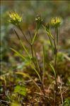 Photo 1/1 Bupleurum baldense Turra