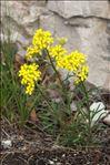 Erysimum nevadense subsp. collisparsum (Jord.) P.W.Ball