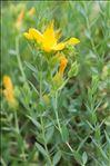 Photo 1/1 Hypericum olympicum L.
