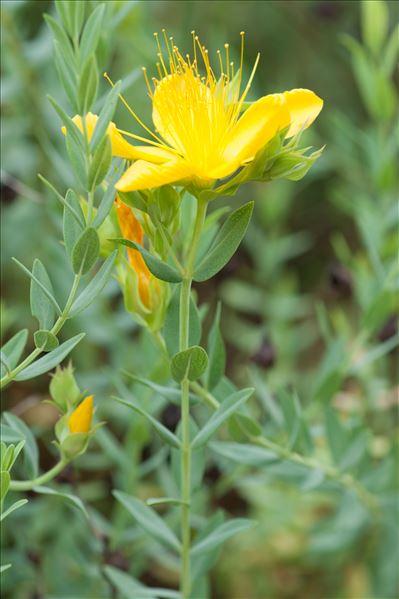 Hypericum olympicum L.