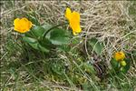 Photo 3/4 Caltha palustris L.