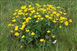 Photo 1/4 Caltha palustris L.