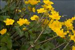 Photo 4/4 Caltha palustris L.