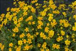 Photo 2/4 Caltha palustris L.