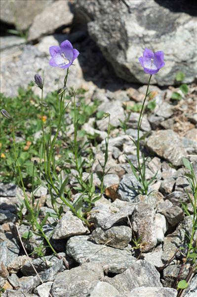 Campanula rotundifolia subsp. hispanica (Willk.) O.Bolòs & Vigo