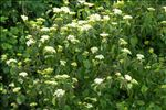 Photo 2/2 Cornus sanguinea L.