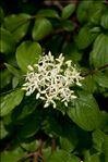 Photo 1/2 Cornus sanguinea L.