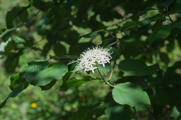 Cornus sanguinea L.