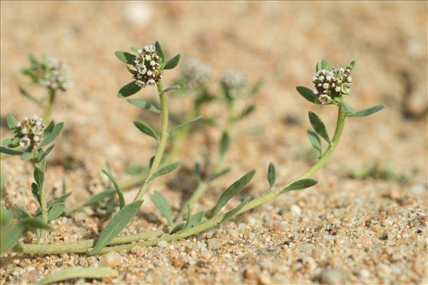 Corrigiola littoralis L. subsp. littoralis