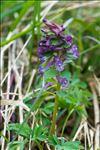 Photo 9/9 Corydalis solida (L.) Clairv.
