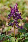 Photo 6/9 Corydalis solida (L.) Clairv.