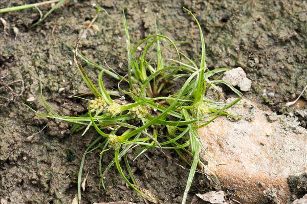 Cyperus michelianus (L.) Link