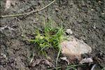 Photo 2/2 Cyperus michelianus (L.) Link