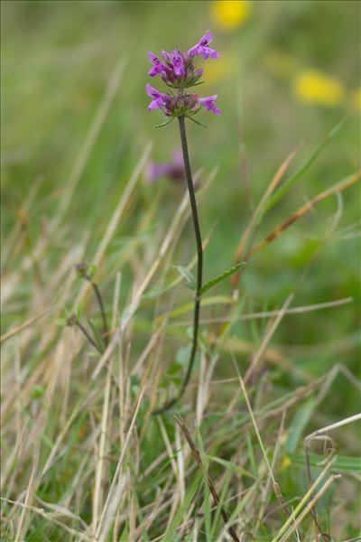 Betonica officinalis L. subsp. officinalis