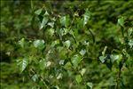 Betula pendula Roth