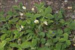Fragaria viridis Weston