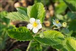Fragaria viridis Weston