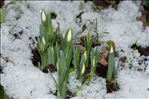 Photo 7/8 Galanthus nivalis L.
