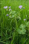 Photo 1/2 Geranium pyrenaicum Burm.f.