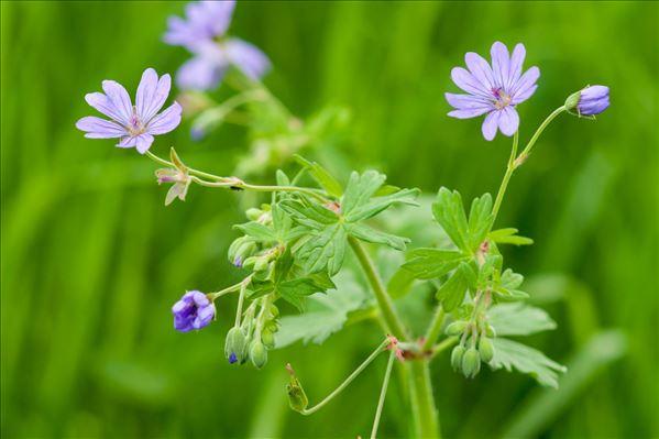 Geranium pyrenaicum Burm.f.