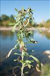 Photo 2/4 Gnaphalium uliginosum L.
