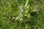 Photo 2/6 Gnaphalium uliginosum L.